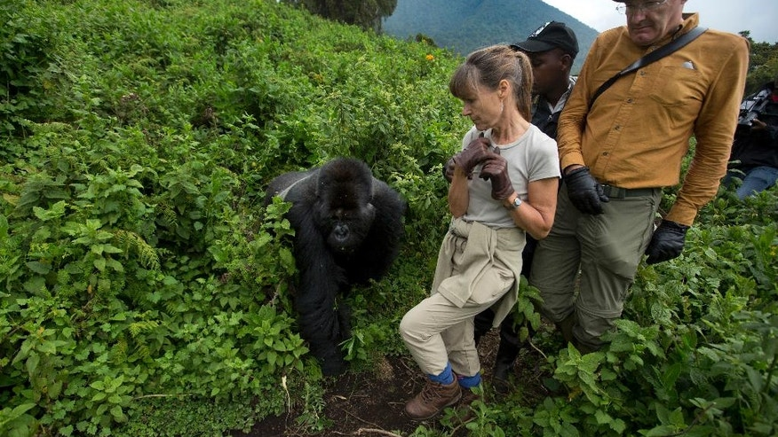 "FILE - In this Friday, Sept. 4, 2015 file photo, tourists Sarah and John Scott from Worcester, England, take a step back as a male silverback mountain gorilla from the family of mountain gorillas named Amahoro, which means ""peace"" in the Rwandan language, unexpectedly steps out from the bush to cross their path in the dense forest on the slopes of Mount Bisoke volcano in Volcanoes National Park, northern Rwanda. In some parts of Africa, tourists and researchers routinely trek into the undergrowth to see gorillas in their natural habitat where there are no barriers or enclosures. (AP Photo/Ben Curtis, File)"