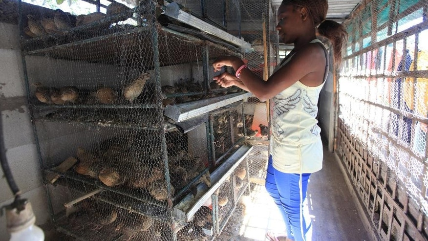 Gwynn Kariwo prepares to feed her quail birds at her home in Highfield, Harare, in this Friday, May, 13, 2016 photo. Kariwo who has backyard cages full with Quail birds in Harare's poor suburb, says she prefers selling the eggs because they are profitable.Thousands of unemployed people are looking to the quail as a deliverance from the dire economic conditions in this southern African country. (AP Photo/Tsvangiryi Mukwazhi)