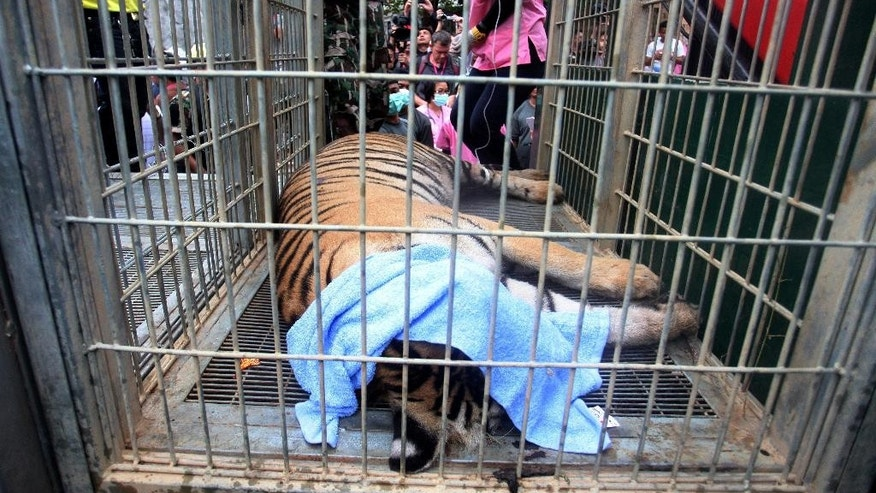 "FILE - In this Monday, May 30, 2016 file photo, a sedated tiger lies in a cage at the ""Tiger Temple"" in Saiyok district in Kanchanaburi province, west of Bangkok, Thailand. Police investigating Thailand's now infamous Tiger Temple found on Tuesday, June 7 what they believe was a slaughter house and tiger holding facility used as part of the temple's suspected trafficking network. (AP Photo/File) THAILAND OUT"