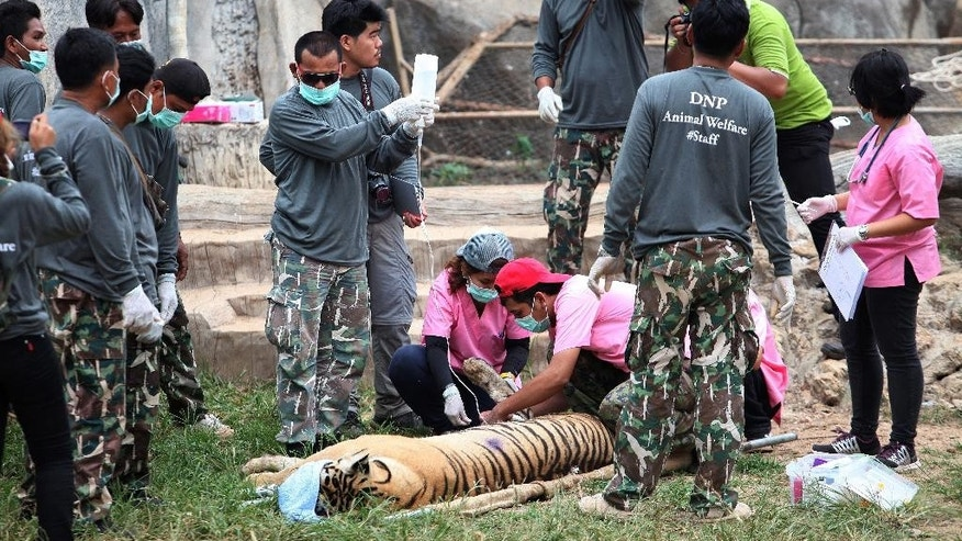 "FILE - In this Monday, May 30, 2016 file photo, wildlife officials sedate a tiger at the ""Tiger Temple"" in Saiyok district in Kanchanaburi province, west of Bangkok, Thailand. Police investigating Thailand's now infamous Tiger Temple found on Tuesday, June 7 what they believe was a slaughter house and tiger holding facility used as part of the temple's suspected trafficking network. (AP Photo, File) THAILAND OUT"