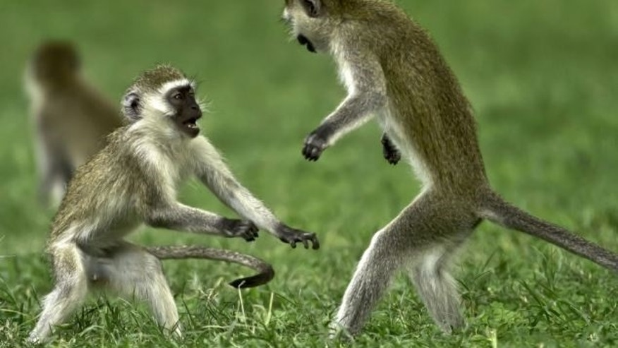 Vervet monkeys playing in Kenya's Great Rift Valley in 2012.
