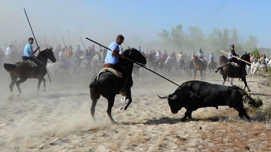 FILE - In this Sept. 11, 2012 file photo, men holding spears riding horses next to a bull during the 'Toro de la Vega' bull spearing fiesta in Tordesillas, near Valladolid, Spain. Regional Spanish lawmakers have voted to ban bull killing at town festivals in a measure that will stop the animals from being speared to death at one of the country's goriest spectacles. The centuries-old event about 200 kilometers (120 miles) northwest of Madrid drew increasing protests in recent years, with animal rights activists denouncing it as brutally cruel. (AP Photo/Israel Lopez, File)