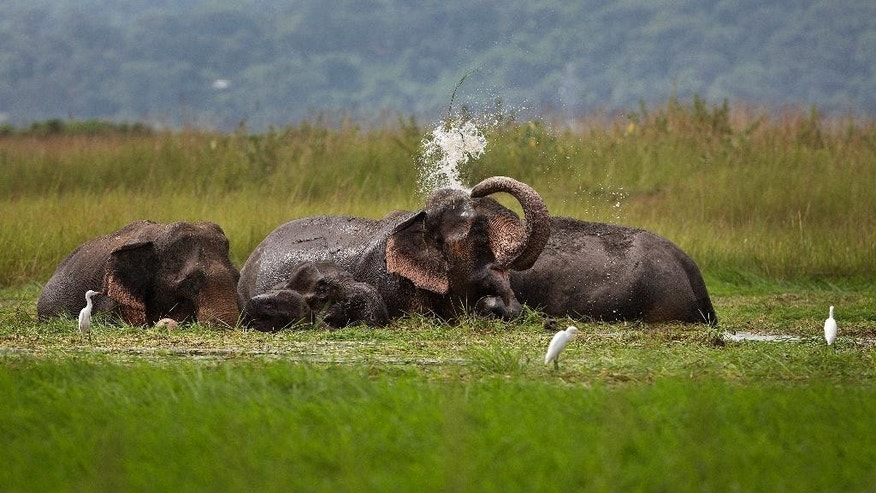 FILE- In this Sept. 15, 2015, file photo, a wild elephant from a nearby hill of India's northeastern Meghalaya state, sprays water on itself as it stands and eats grass in the wetlands of Telalia, on the outskirts of Gauhati, India. An Indian Cabinet minister says her colleagues in the Environment Ministry are failing to protect the country's wildlife by allowing states to cull populations of monkeys, elephants, wild boars and antelopes. (AP Photo/Anupam Nath, File)