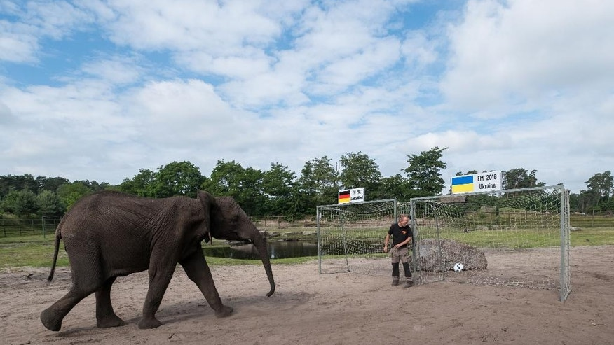Female elephant Nelly kicks the ball as an oracle into the goal of Ukraine at the Serengeti animal park in Hodenhagen, Germany, Friday, June 10, 2016. According to the prediction of the elephant the German soccer team will win its first match at the Euro 2016 against the Ukraine on Sunday. (Peter Steffen/dpa via AP)