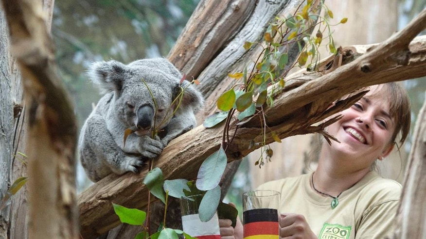 The male Koala Oobi-Ooobi predicts Germany to be the winner of the UEFA Euro 2016 match between Germany and Poland to be held tomorrow besides the zookeeper Juliane Ladensack at the Leipzig Zoo in Leipzig, central Germany, Wednesday, June 15, 2016. He took out the eucalyptus branch from the glass with the German flag. (AP Photo/Jens Meyer)