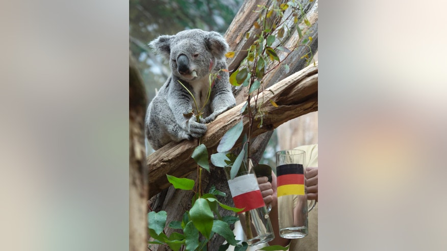 The male Koala Oobi-Ooobi predicts Germany to be the winner of the UEFA Euro 2016 match between Germany and Poland to be held tomorrow in France,  at the Leipzig Zoo in Leipzig, central Germany, Wednesday, June 15, 2016. He took out the eucalyptus branch from the glass with the German flag. (AP Photo/Jens Meyer)