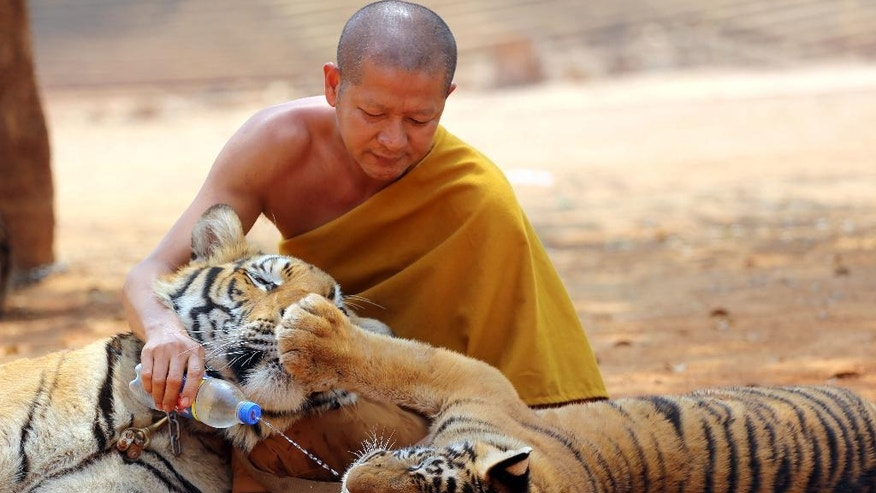 "FILE - In this Feb, 12, 2015 file photo a Thai Buddhist monk feeds water to a tiger at the ""Tiger Temple,"" in Saiyok district in Kanchanaburi province, west of Bangkok, Thailand. Scandals have cast a spotlight on misbehaving monks and given rise to reflection on the state of Buddhism in Thailand, which is the national religion. (AP Photo/Sakchai Lalit,File)"