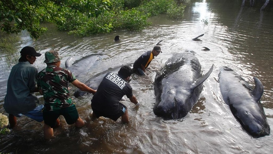 Rescuers pull dead whales ashore in Probolinggo, East Java, Indonesia, Thursday, June 16, 2016 during a mass rescue operation of stranded whales. Most of more than 30 stranded whales were managed to be pulled into the deep sea, an official said. (AP Photo/Trisnadi)