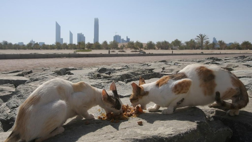 In this Wednesday June 15, 2016 photo, stray cats rush to eat food which was brought by the aid group Animal Welfare Abu Dhabi at the Lulu island in Abu Dhabi, United Arab Emirates. A man-made island off the coast of Abu Dhabi is home to a colony of stray cats and local activists are trying to spay and neuter them. Lulu Island near the capital of the United Arab Emirates once drew tourists, but now sits largely vacant except for its 165-odd feline residents. (AP Photo/Kamran Jebreili)