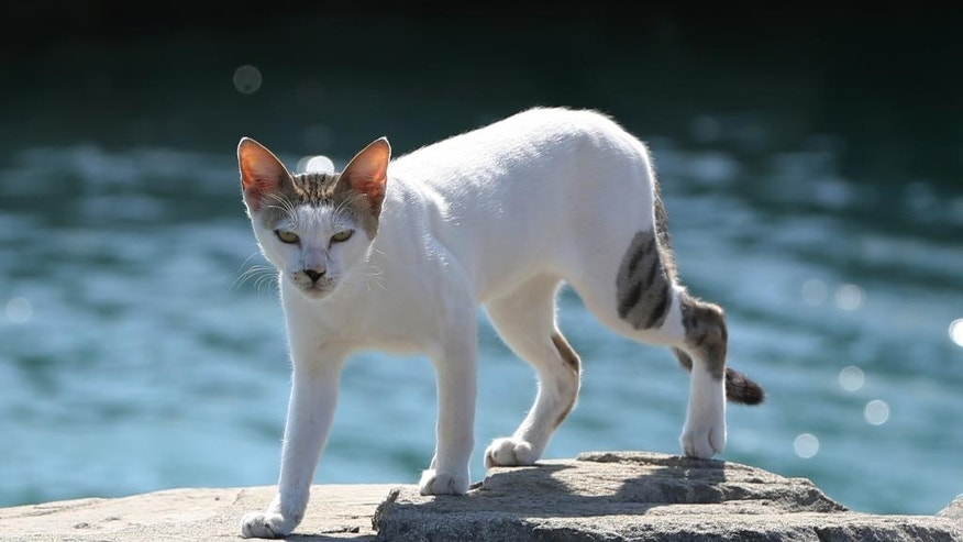 In this Wednesday June 15, 2016 photo, an stray cat rush walks towards the aid group Animal Welfare Abu Dhabi who they arrived at the Lulu island in Abu Dhabi, United Arab Emirates. A man-made island off the coast of Abu Dhabi is home to a colony of stray cats and local activists are trying to spay and neuter them. Lulu Island near the capital of the United Arab Emirates once drew tourists, but now sits largely vacant except for its 165-odd feline residents. (AP Photo/Kamran Jebreili)