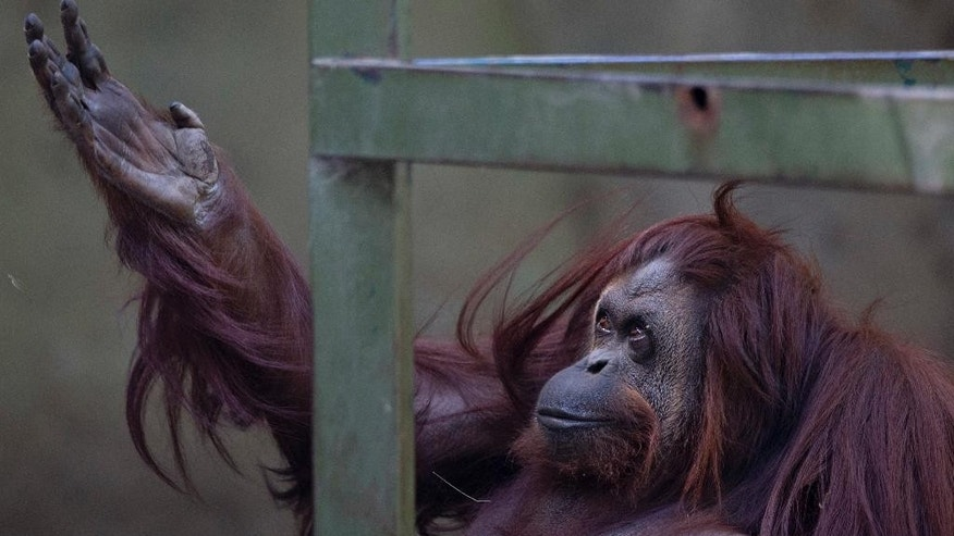 FILE - In this Dec. 22, 2014, file photo, Sandra the orangutan sits in her enclosure at Buenos Aires' Zoo in Argentina. The mayor of Argentina's capital Horacio Rodriguez Larreta said Thursday, June 23, 2016, that the zoo will be turned into an ecological park and that it will gradually relocate most of its 1,500 animals to sanctuaries in Argentina and abroad because they are not living in adequate conditions. (AP Photo/Natacha Pisarenko, File)