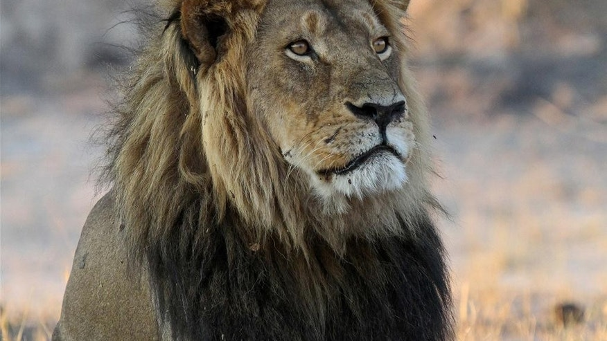 In this photo taken Nov. 20, 2013, Cecil the Lion rests near Kennedy One Water Point in Hwange National Park, Zimbabwe. A year ago an American killed the well known Lion in Hwange in what authorities said was an illegal hunt, infuriating people worldwide and invigorating an international campaign against so called trophy hunting in Africa. (AP Photo/Sean Herbert)