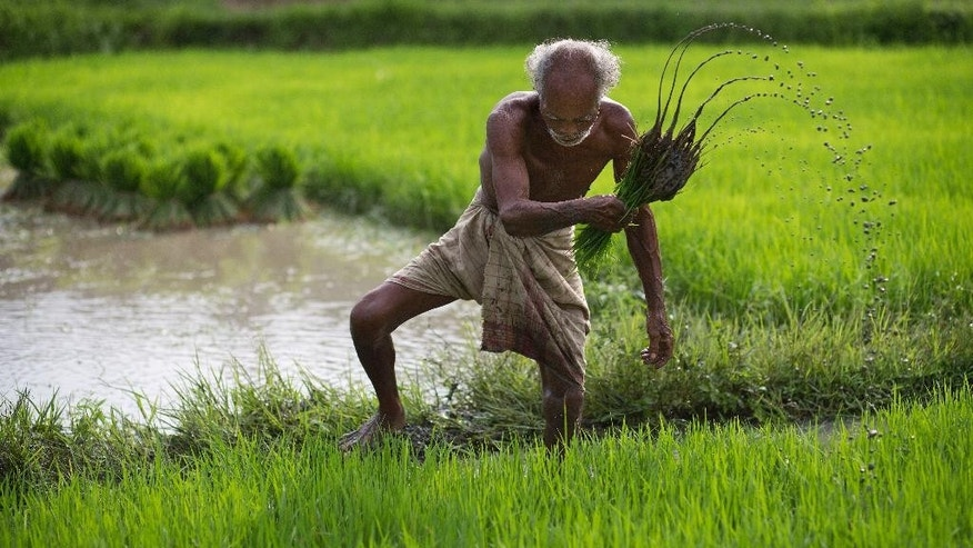 FOR STORY 'INDIA MONSOON' BY KATY DAIGLE  FILE - In this July 3, 2015 file photo, a farmer works in a rice paddy field at Reba Maheswar village, 56 kilometers (35 miles) east of Gauhati, India.  The all-important monsoon forecast is a national priority, with more than 70 percent of India's 1.25 billion population relying on it to plan when they will sow their seeds and harvest their crops.  A new study led by oceanographer Evan Weller, and released Friday by the journal Science Advances, shows that man-made climate change is responsible for most of the change seen in ocean surface temperatures near the equator across Asia, which in turn affect regional rainfall patterns including the Indian monsoon.(AP Photo/Anupam Nath, File)