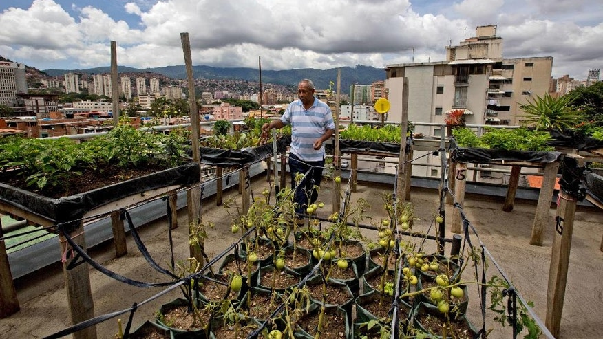 In this June 1, 2016 photo, Francisco Salazar inspects his tomatoes and lettuce on the roof of his apartment in Caracas, Venezuela. Salazar, a government supporter and head of a community council that works in Caracas slums, says he and his neighbors are growing beets, black beans, lettuce and dozens of other vegetables in a large community garden. But he worries it won't be enough. (AP Photo/Fernando Llano)