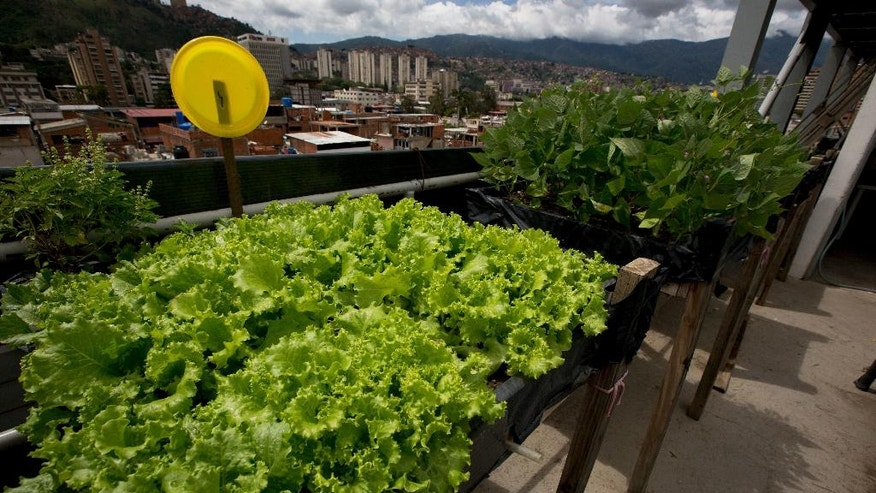 In this June 1, 2016 photo, lettuce and beans grow on the rooftop apartment of Francisco Salazar, head of a community council that works in the city's slums, in Caracas, Venezuela. Some Venezuelans who have given up produce as an unaffordable luxury are now turning to urban farming to get vegetables back into their diets. (AP Photo/Fernando Llano)
