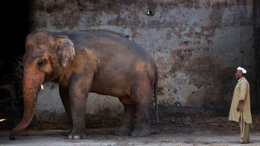 In this Tuesday, May 31, 2016, Pakistani caretaker Mohammad Jalal looks at elephant 'Kaavan' at Marghazar Zoo in Islamabad, Pakistan. The plight of Kaavan, a mentally tormented bull elephant confined to a small pen in the Islamabad Zoo for nearly three decades, has galvanized a rare animal rights campaign in Pakistan, which has brought the issue to the floor of parliament. (AP Photo/Anjum Naveed)