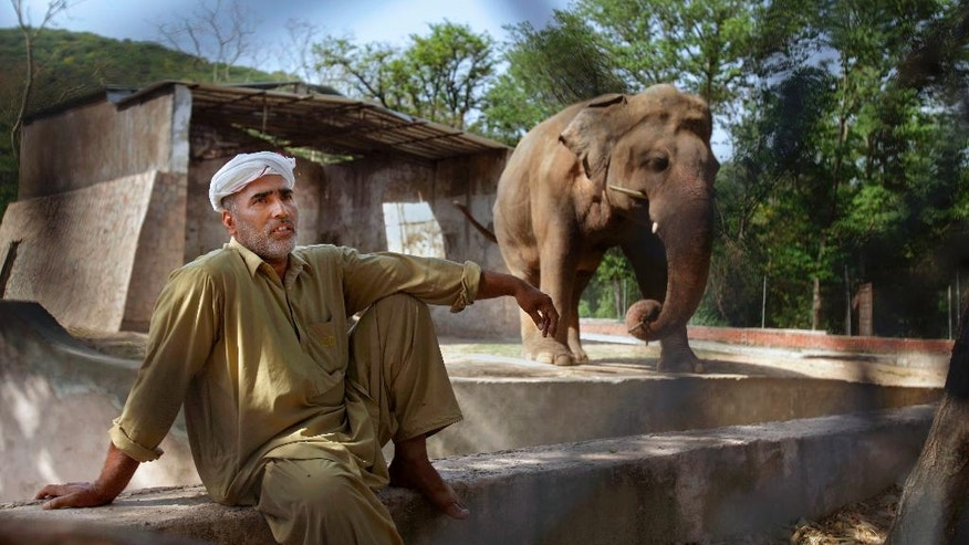 In this Tuesday, May 31, 2016, photo Pakistani caretaker Mohammad Jalal talks to the Associated Press next to an elephant 'Kaavan' at Marghazar Zoo in Islamabad, Pakistan. The plight of Kaavan, a mentally tormented bull elephant confined to a small pen in the Islamabad Zoo for nearly three decades, has galvanized a rare animal rights campaign in Pakistan, which has brought the issue to the floor of parliament. (AP Photo/Anjum Naveed)
