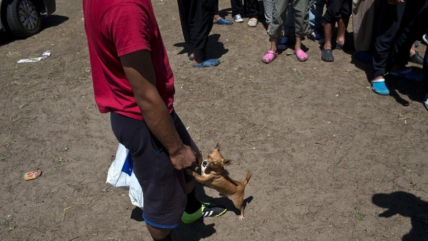 Rex, a chihuahua dog, plays with his owner, Baba, a refugee from Afghanistan, 25, at a makeshift camp for migrants and refugees situated meters away from the Serbian border with Hungary, in Horgos, Serbia, Monday, July 4, 2016. Waiting in the summer heat with limited running water, hundreds of refugees camping out on the Serbian-Hungarian border are facing uncertain prospects as EU nation Hungary prepares to implement new, tighter asylum rules on Tuesday. (AP Photo/Marko Drobnjakovic)