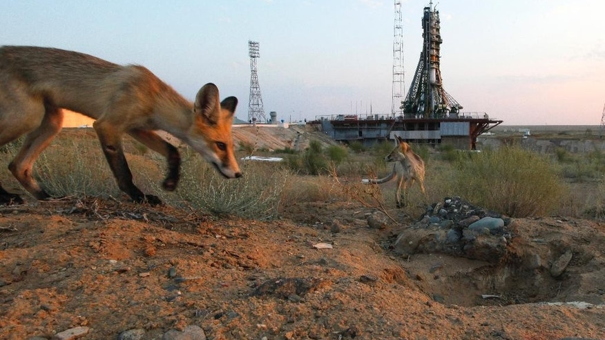 Wild foxes walk in front of a launch pad prior the launch of the Soyuz-FG rocket booster with Soyuz MS space ship carrying a new crew to the International Space Station, ISS at the Russian leased Baikonur cosmodrome, Kazakhstan, Thursday, July 7, 2016. The Russian rocket carries U.S. astronaut Kate Rubins, Russian cosmonaut Anatoly Ivanishin, and Japan astronaut Takuya Onishi. (AP Photo/Dmitri Lovetsky)