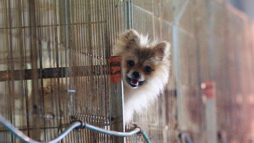 In this June 28, 2016, photo, a pet dog pokes its face through a cage at a puppy farm in Yangpyeong, South Korea. South Korean dog farmers face plummeting prices for puppies and massive public criticism after media reports alleging shocking acts of cruelty at a handful of farms. (AP Photo/Ahn Young-joon)