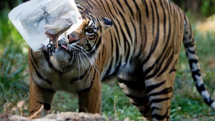 A tiger refreshes with a block of ice containing bits of meat in Rome's Bioparco zoo, Wednesday, July, 13, 2016. Zoo staff offered animals frozen and refrigerated food to refresh them as temperatures are expected to rise over the coming days. (AP Photo/Andrew Medichini)