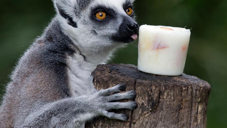 A lemur licks a block of frozen yogurt and fruit to refresh itself in Rome's Bioparco zoo, Wednesday, July, 13, 2016. Zoo staff offered animals frozen and refrigerated food to refresh them as temperatures are expected to rise over the coming days. (AP Photo/Andrew Medichini)
