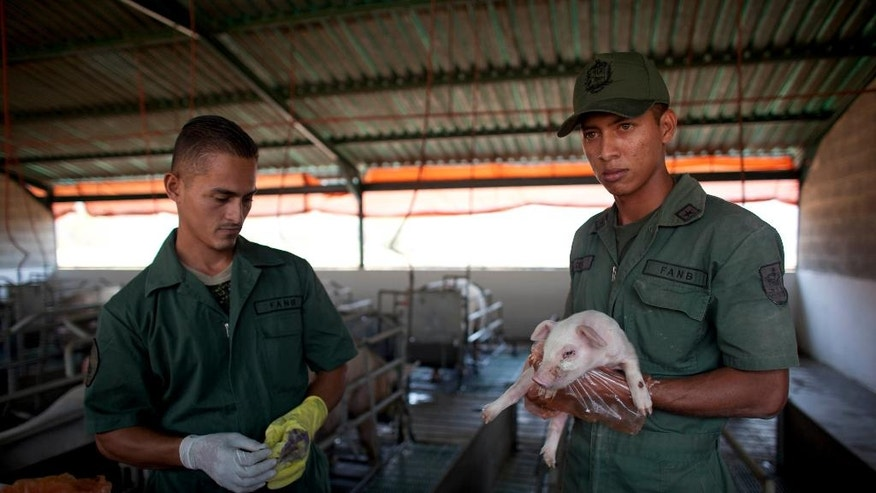 In this March 8, 2016 photo, Bolivarian Army soldiers tend to a piglet on a farm at a military base near Maracay, Venezuela. President Nicolas Maduro on Monday night, July 11, 2016, said he was creating a new government initiative to boost production and guarantee the smooth distribution of food supplies in the face of what he called economic sabotage by his opponents. He said the Great Mission of Sovereign Supply will be headed by Defense Minister Vladimir Padrino, who will coordinate the work of every ministry. Among its goals will be to wean oil-dependent Venezuela off foreign food imports and jumpstart agricultural production that has suffered for years under price controls. (AP Photo/Ariana Cubillos)