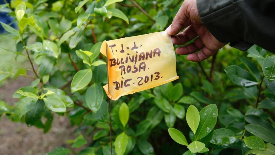 """In this May 10, 2016 photo, a police officer holds up a marker that identifies a variety of coca called """"Boliviana Rosa"""" in an experimental coca field at Los Pijaos police training base in San Luis, Colombia, where procedures and equipment are tested against coca growers' ever-changing techniques. Amid rising cocaine production, Colombia is being forced to rethink its anti-drug strategy again, taking into account the possibility of a more stable future now that the government has reached a cease-fire deal with rebels that will take effect once a final accord is signed, probably in the coming weeks. If and when that happens, the military is hopeful it will be able to shift its energy and resources from fighting rebels to pursuing top drug traffickers. (AP Photo/Fernando Vergara)"""