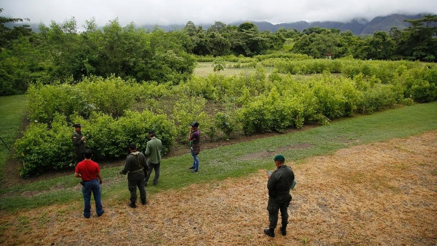 """In this May 10, 2016 photo, police give a tour of an experimental coca field, growing 23 varieties of coca, at Los Pijaos police training base in San Luis, Colombia, where procedures and equipment are tested against coca growers' ever-changing techniques. The biggest concern lately is a strain called """"Boliviana negra,"""" or Black Bolivian, also known as """"Supercoca,"""" which is found in the southern jungles and being studied for its resistance to herbicide. After six straight years of declining or steady production, the amount of land under coca cultivation in Colombia began rising in 2014 and jumped 42 percent last year, according to the U.S. government.  (AP Photo/Fernando Vergara)"""