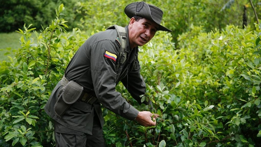In this May 10, 2016 photo, a police officers picks coca leaves as he gives a tour of an experimental coca field at Los Pijaos police training base in San Luis, Colombia, where procedures and equipment are tested against coca growers' ever-changing techniques. In the coming months, Colombia will quadruple to around 200 the number of eradication crews, each comprised of about two dozen civilians escorted by a much-larger security detail of sharpshooters, paramedics and land mine removal teams. After six straight years of declining or steady production, the amount of land under coca cultivation in Colombia began rising in 2014 and jumped 42 percent last year, according to the U.S. government.  (AP Photo/Fernando Vergara)
