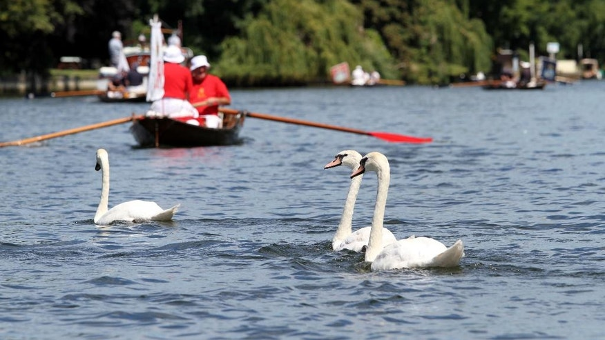 Britain's Queen Elizabeth's Swan Uppers look for cygnets while sailing down the River Thames, in Staines on Thames, England, Monday July 18, 2016, during the annual count of the Queen's swans on the river Thames. The queen is the traditional owner of unmarked mute swans and royal tradition requires they be counted each year. (AP Photo/Leonora Beck)