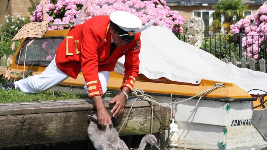 The Queen's Swan Marker David Barker releases a cygnet back into the River Thames, in Staines on Thames, England, Monday July 18, 2016, during the annual count of the Queen's swans on the river Thames. The queen is the traditional owner of unmarked mute swans and royal tradition requires they be counted each year. (AP Photo/Leonora Beck)