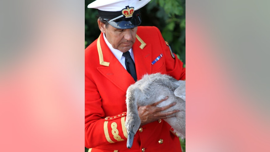 Britain's Queen Elizabeth's Swan Marker David Barker holds a cygnet during the annual count of the Queen's swans on the river Thames, in Staines on Thames, England, Monday July 18, 2016. The Queen is the traditional owner of unmarked mute swans and royal tradition requires they be counted each year. (AP Photo/Leonora Beck)