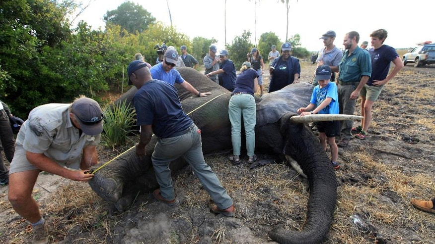 In this Tuesday July 12, 2016 photo, an elephant is measured after being shot by a dart in Lilongwe, Malawi, in the first step of an assisted migration of 500 of the threatened species. African Parks, which manages three Malawian reserves is moving the 500 elephants from Liwonde National Park, this month and next, and again next year when vehicles can maneuver on the rugged terrain during Southern Africa's dry winter. (AP Photo/Tsvangirayi Mukwazhi)