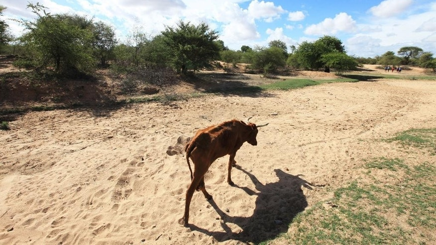 FILE - In this file photo taken Sunday Jan. 29, 2016, impoverished cattle walk along a dried up river bed in the village of Chivi, Zimbabwe. The United States on Monday July, 25, 2016 announced $127 million in aid for southern African countries where the worst drought in decades is affecting millions of people. (AP Photo/Tsvangirayi Mukwazhi, File)