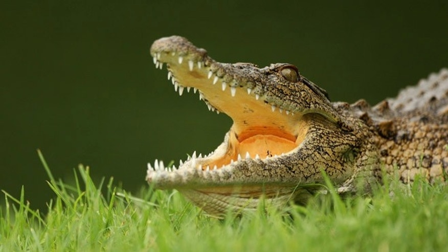 MALELANE, SOUTH AFRICA - DECEMBER 09:  A crocodile lies in wait by the 13th green during practice before the Alfred Dunhill Championship at Leopard Creek Country Club on December 9, 2008 in Malelane, South Africa.  (Photo by Warren Little/Getty Images)