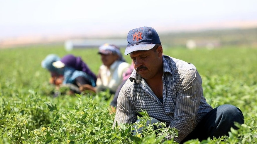 In this Saturday, July 16, 2016 photo, Syrian refugee Fawaz al-Jasem pulls weeds on a tomato farm in Ramtha, Jordan. He's among thousands of displaced Syrians who recently obtained work permits as part of Jordan's promise to the international community to put 50,000 refugees to work legally by the end of the year in exchange for interest-free loans and easier access to European markets. So far, some 23,000 Syrians have been given work permits in the kingdom under the deal, aimed in part at keeping refugees in the region with a promise of jobs and education for their children, and deterring them from moving on to Europe. (AP Photo/Raad Adayleh)