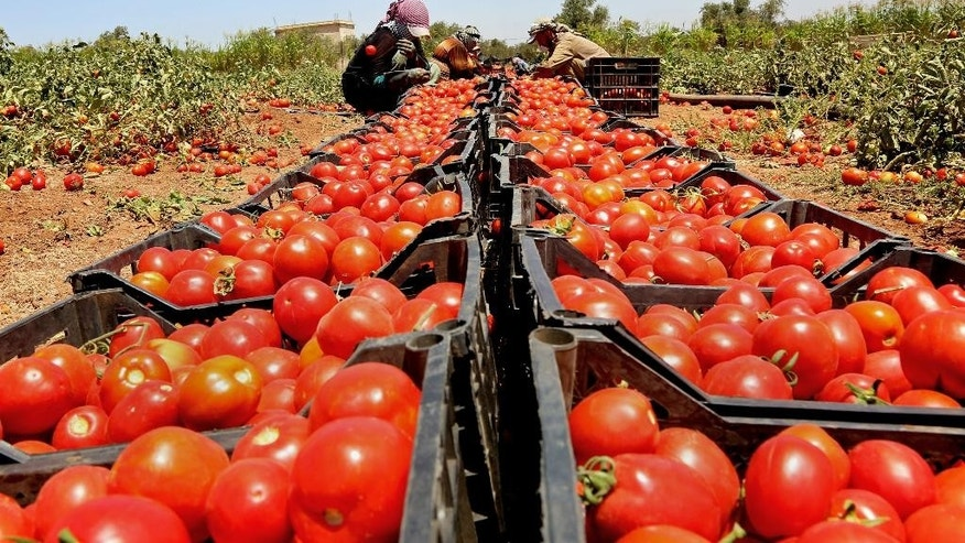 In this Saturday, July 16, 2016 photo, Syrian refugees sort crates of tomatoes before they are sent to market, on a farm in Ramtha, Jordan. They are among thousands of displaced Syrians who recently obtained work permits as part of Jordan's promise to the international community to put 50,000 refugees to work legally by the end of the year in exchange for interest-free loans and easier access to European markets. So far, some 23,000 Syrians have been given work permits in the kingdom under the deal, aimed in part at keeping refugees in the region with a promise of jobs and education for their children, and deterring them from moving on to Europe. (AP Photo/Raad Adayleh)