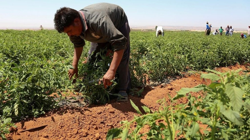 In this Saturday, July 16, 2016 photo, Egyptian guest worker Ahmed Abd El Hay, pulls weeds from a tomato farm in Ramtha, Jordan. Veteran foreign workers, particularly from Egypt, fear a new EU-backed deal in Jordan to employ more Syrian refugees will squeeze them out of the kingdom's crowded labor market. So far, some 23,000 Syrians have been given work permits in the kingdom under the deal, aimed in part at keeping refugees in the region with a promise of jobs and education for their children, and deterring them from moving on to Europe. (AP Photo/Raad Adayleh)