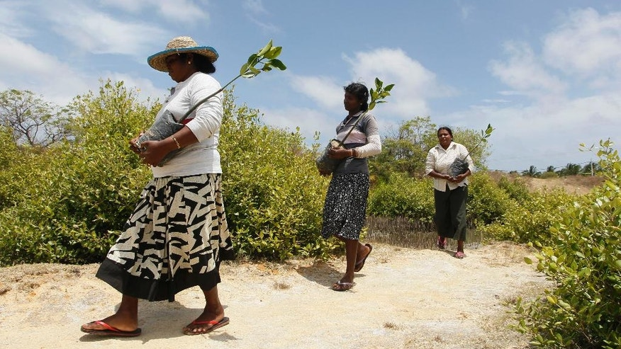 In this July 18, 2016 photo, Sri Lankan mangrove conservation workers carry mangrove saplings for planting in Kalpitiya, about 130 kilometers (81 miles) north of Colombo, Sri Lanka. Sri Lanka's government and environmentalists are working to protect tens of thousands of acres of mangrove forests _ the seawater-tolerant trees that help protect and build landmasses, better absorb carbon from the environment mitigating effects of global warming and reducing impact of natural disasters like tsunamis. Authorities have identified about 37,000 acres (15,000 hectares) of mangrove forests in Sri Lanka that are earmarked for preservation. (AP Photo/Eranga Jayawardena)