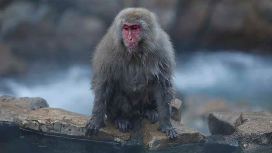 A Japanese macaque (or so called Snow Monkey) takes a rest on rocks near a hot spring at a valley in Yamanouchi town, Nagano prefecture, Japan, November 30, 2015. REUTERS/Yuya Shino  - RTX1WGZP