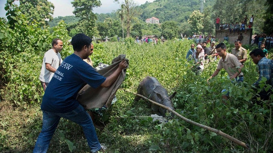 Indian forest officials and wildlife conservationists try to catch a baby Rhino that strayed into an adjacent village following floods at the Kaziranga National Park, east of Gauhati, northeastern Assam state, India, Thursday, July 28, 2016. The Rhino calf was rescued and sent to a conservation center. Forest officials say they have rescued six rhino calves from being washed away by floodwaters that have swamped the national park. (AP Photo/Anupam Nath)