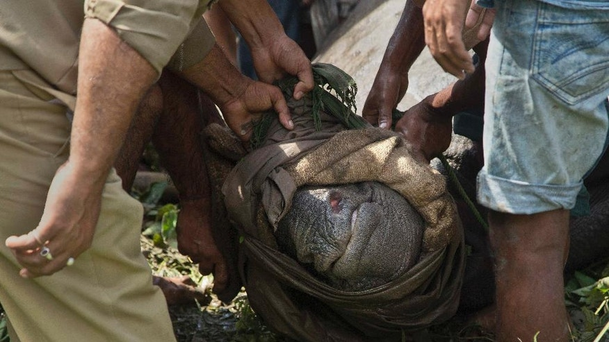 Indian forest officials and wildlife conservationists catch a baby Rhino that strayed into an adjacent village following floods at the Kaziranga National Park, east of Gauhati, northeastern Assam state, India, Thursday, July 28, 2016. The Rhino calf was rescued and sent to a conservation center. Forest officials say they have rescued six rhino calves from being washed away by floodwaters that have swamped the national park. (AP Photo/Anupam Nath)