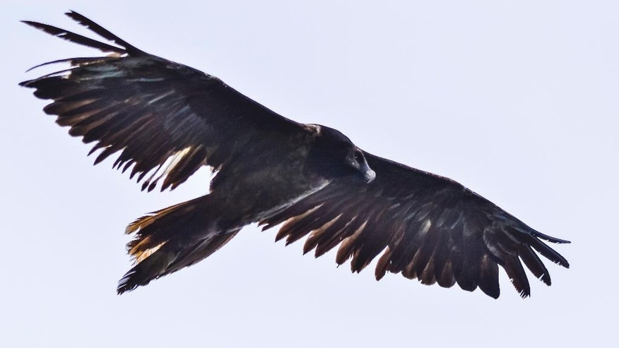 In this July 19, 2016, image provided by the Romanian Ornithological Society, a rare bearded vulture flies near Baia-Mare, Romania, the first time the rare bone-eating bird has been spotted here in more than 80 years. The bird, called Adonis, was born in captivity in the Czech Republic in 2014, in a European breeding program. (Sebastian Bugariu/Romanian Ornithological Society via AP)
