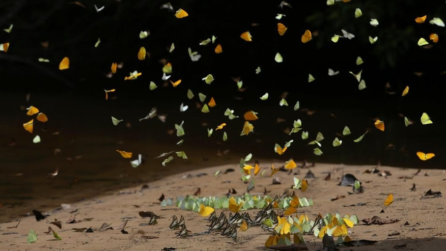 In this June 22, 2016 photo, butterflies congregate on the shore of the Igarape Mapi river near the community of Ceu do Mapia, in Amazonas state, Brazil. The butterflies gather attracted by the minerals that accumulate on the sandy shore. Ceu do Mapia revolves around an ancient psychedelic tea locals know as the Holy Daime. The Ayahuasca brew is sacred to Ceu do Mapia villagers, who use it in rituals that blend together Indian beliefs with Roman Catholicism. (AP Photo/Eraldo Peres)