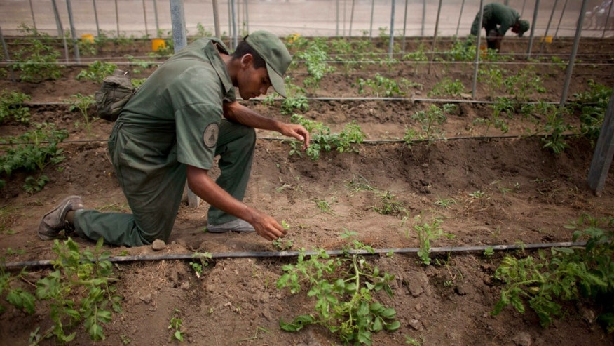 Bolivarian Army soldiers tend to tomato plants in a greenhouse at a military base near Maracay, Venezuela.