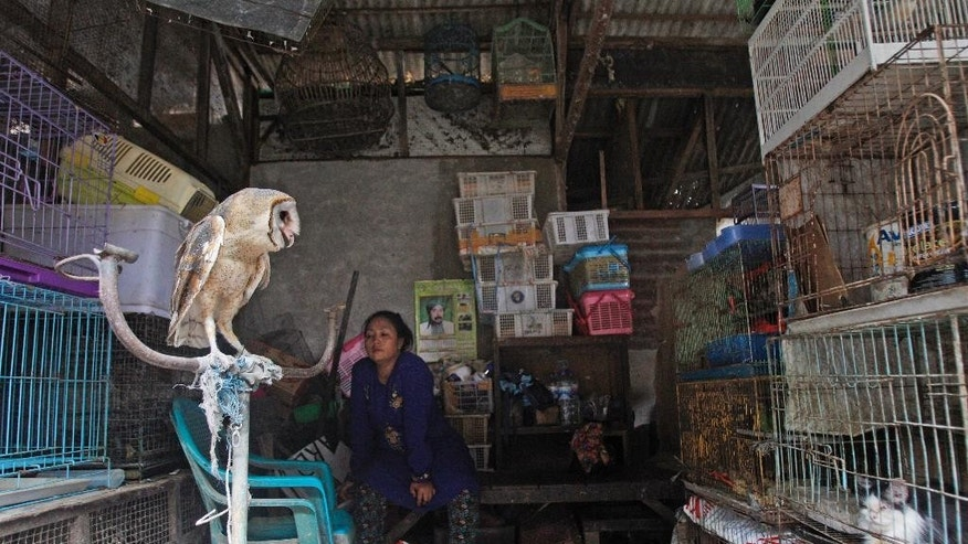 An owl sits on a perch at a stall at Gubeng bird market in Surabaya, East Java, Indonesia, Thursday, Aug. 11, 2016. Traffic, a U.K.-based wildlife trade monitoring group has called on Indonesia to take strong action against traders of endangered birds who are driving several species toward extinction, following its latest survey which recorded nearly 23,000 birds in five markets in three cities in eastern and central Java. (AP Photo/Trisnadi)