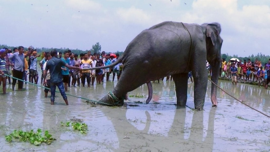 Bangladeshi villagers gather as wildlife experts attend to a fully grown Indian elephant.