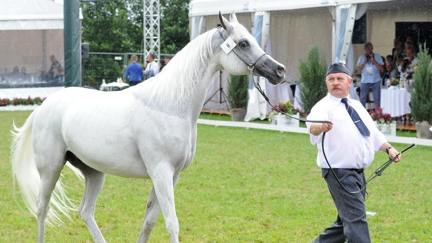 "Mare Emira is presented at the yearly Arabian horse auction ""Pride of Poland"", in Janow Podlaski, Poland, Sunday, Aug. 14, 2016. Poland's right-wing government is facing a test of its reputation at the auction at a 199-year-old stud farm, after the state breeding program's reputation faced a setback earlier this year when the new conservative government purged the three top managers in the breeding program, considered a national treasure. (AP Photo/Alik Keplicz)"
