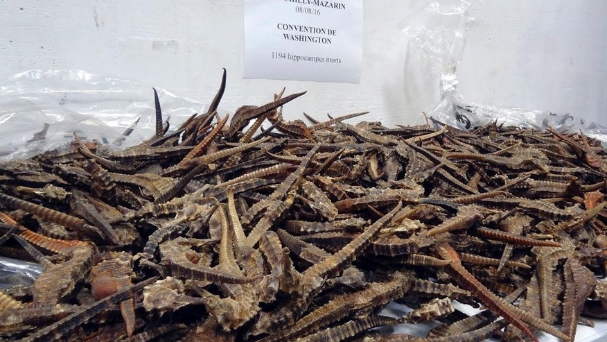 This photo taken on Aug. 16, 2016 by the French Customs shows dead seahorses on a table near Paris. French customs police have seized 2,000 dried seahorses smuggled into France in several postal packages en route from Guinea to Vietnam. The endangered creatures were discover in plastic bags by customs officers in a Paris suburban post office. (Douanes Francaise via AP)